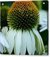 Echinacea Gold II Acrylic Print