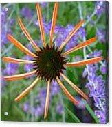 Echinacea Mango Acrylic Print