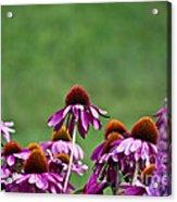 Echinacea Purpurea Acrylic Print