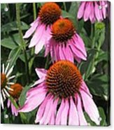 Echinacea Purpurea Or Purple Coneflower Acrylic Print