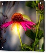 Echinacea Sunrise Acrylic Print