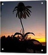 Echinacea Sunset Acrylic Print