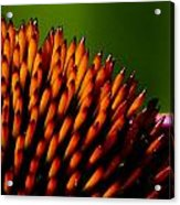 Echinacea Up Close Acrylic Print