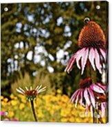 Echinacea With Bee Acrylic Print