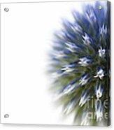Echinops  Acrylic Print