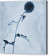 Echinops Ritro 'veitch's Blue' Cyanotype Acrylic Print