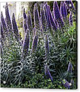 Echium And Tower Acrylic Print