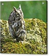 Echo Of An Eastern Screech Owl  Acrylic Print