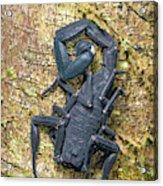 Ecuadorian Black Scorpion Acrylic Print