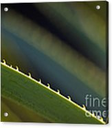 Edge Of A Sotol Leaf Acrylic Print