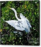 Egret 1 Acrylic Print