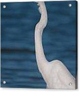 Egret 148 Acrylic Print