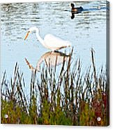 Egret And Coot In Autumn Acrylic Print