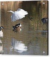 Egret And Geese At Gilbert  Riparian Preserve Acrylic Print