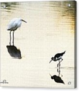 Egret And Stilt At The Grp Acrylic Print