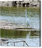 Egret At Low Tide Acrylic Print