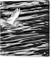 Egret Flying  Acrylic Print