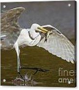 Egret Happy Dance...... Acrylic Print
