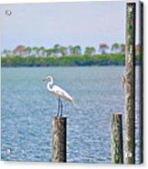 Egret In Dunedin Florida Acrylic Print