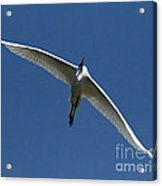Egret In Flight   #6749 Acrylic Print