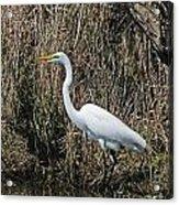 Egret In Marsh In Display  Acrylic Print