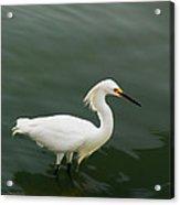 Egret In Water Acrylic Print