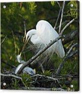Louisiana Egret With Babies In Swamp Acrylic Print