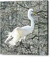 Egret Lake Martin Louisiana Rookery Acrylic Print