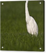 Egret Looking For Lunch Acrylic Print