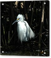 Egret Of Sanibel 2 Acrylic Print