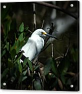 Egret Of Sanibel 5 Acrylic Print