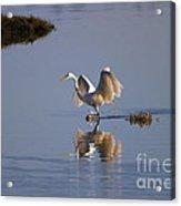Egret Reflections Acrylic Print