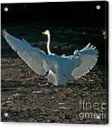 Egret Showing Off Acrylic Print