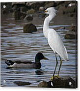 Egret Standing Guard Acrylic Print