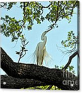 Egret Waiting For Mating  Acrylic Print