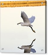 Egret With Fish- Reflected Acrylic Print