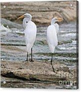 Egrets 4649 Acrylic Print