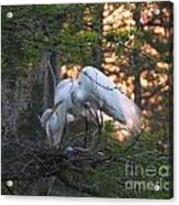 Egrets At Nest Acrylic Print