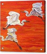 Egrets In Flight Acrylic Print