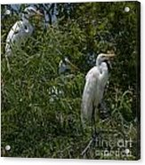 Egrets In Tree Acrylic Print