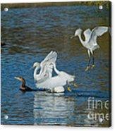 Egrets Robbing A Cormorant Acrylic Print