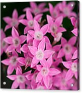 Egyptian Star Flowers Or Penta Acrylic Print