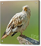 Egyptian Vulture Acrylic Print