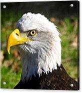 Bald Eagle Head Shot One Acrylic Print