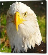 Bald Eagle Head Shot Two Acrylic Print