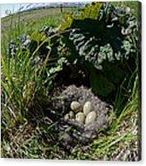 Eider Eggs Acrylic Print