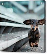 Ein Kleiner Hund La?uft Durch Die Welt.... Acrylic Print