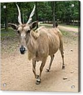 Eland Antelope Out In The Open Acrylic Print