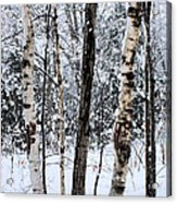 Elders In A High Country Grove Acrylic Print