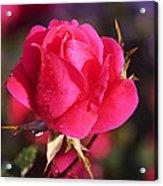 Electron Tea Rose Acrylic Print